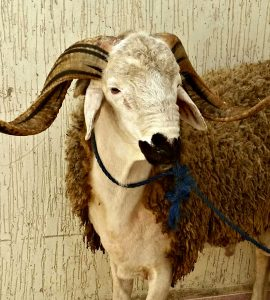 A photograph of a single ram with long horns. A rope is tied loosely around his neck. The image was taken on the occasion of Eid al Adha.