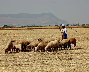 Small herd of sheep grazing on dry, flat field in Morocco. A man with a hat and long stick watches over them.