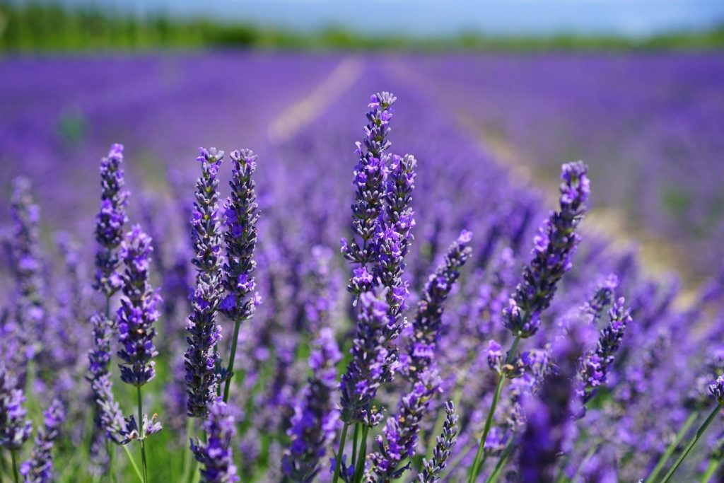 Close up photo of lavender growing in a field.